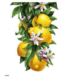 RAMM illustrator. Branch of a lemon.  The illustration on the label. for studio tomatdesign. http://inorama.ru