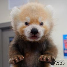 Baby Lincoln, The Red Panda Stealing Everybody's Heart