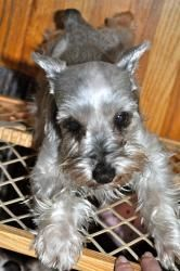 Hannah is an adoptable Schnauzer Dog in Livonia, MI. HANNAH is a 5 yr old toy schnauzer, weighs 8 lbs is spayed, vaccinated, microchipped, and heartworm negative. She loves to be wherever y..