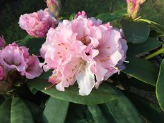 Buy rhododendron Rhododendron 'Christmas Cheer': Delivery by Crocus