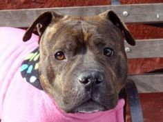 LITTLEDEBBIE is an adoptable Pit Bull Terrier Dog in New York, NY. A staff member writes: Little Debbie is aptly named. And of course I'm referring to any variety of tasty snack cake and how it compar...