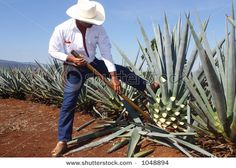 Tequila production, Jalisco, Mexico