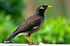 Mynah bird. Some mynas are considered talking birds, for ... - photo#38