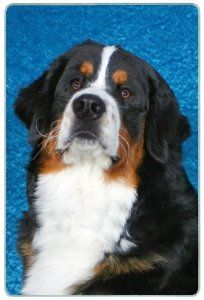 """Bernese Mountain Dog Cutting Board by Canine Designs. $29.95. Size: 8"""" x 11"""". Scratch Resistant - imprinted on back. Hygenic and easy to clean.. Made of tempered glass making it virtually unbreakable.. Heat resistant.. Our beautiful, dog breed cutting boards will enhance any kitchen. They make great gifts, are made of tempered glass and measure 9"""" x 12"""". They are heat resistant, scratch resistant, virtually unbreakable, easily cleaned and dishwasher safe."""