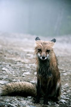 Fox In The Rain xpost from rpics poor thing...he looks sad