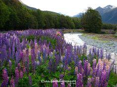 Lupines in Fiordland, New Zealand (Kea Photography)