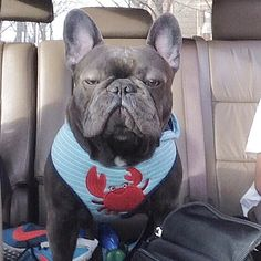 The #French #Bulldog also known as the #Frenchie is a small breed of domestic dog. #Frenchies were the result in the 1800s of a cross between #bulldog ancestors imported from England and local ratters in Paris (France)