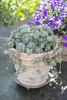 Nagyszerű együttes     Claus Dalby, a híres dán kertész, író örömmel ad néhány ötletet, tanácsot a cserepes növények összeültetéséh...