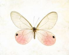 Pink pastel insect botanical specimen easter dreamy macro closeup spring minimal - Glasswing Butterfly 8 x 10, via Etsy.