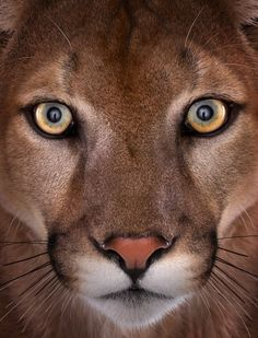 Cougar   That's a beautiful face