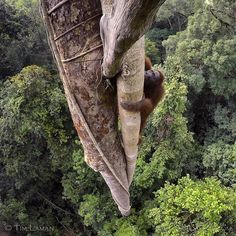 """natgeoPhoto by @TimLaman. I'm very happy to share with you all that my portfolio on orangutans called """"Tough Times for Orangutans"""" was awarded first prize in the World Press Photo Awards – Nature Story category. This shot of a wild male orangutan scaling a tree in Borneo's Gunung Palung National Park was part of the portfolio."""