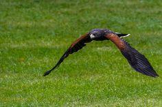 Harris Hawk in Flight at the Schlitz Audubon Nature Center