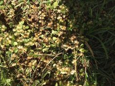 Khaki weed, Alternanthera pungens. Image by Mark Wilson