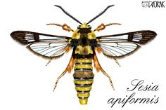 I draw your own pictures on your PC- Sesia apiformis