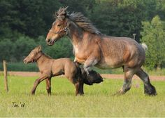 Dutch heavy drafts (foal is champagne)