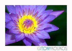 flower, vibrant, colour, colourful, petals, texture, nature, bud, Thailand, islands, purple, yellow, travel, art, photography, Tony Koukos, Koukos, EXO010C-A