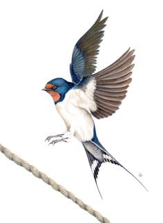 Swallow - Watercolour by Chris Haywood