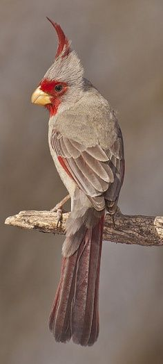 The Pyrrhuloxia or Desert Cardinal (Cardinalis sinuatus) is a medium-sized North American song bird found in the American southwest and northern Mexico.