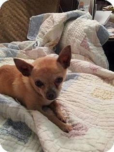 04/05/15-BIG RED...Nashville, TN - Chihuahua Mix. Meet Big Red, a dog for adoption. http://www.adoptapet.com/pet/11431778-nashville-tennessee-chihuahua-mix