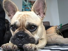 Just chilling Frenchie