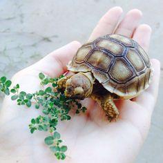 tiny tortoise eating lettuce