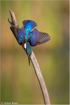 I love the beautiful blues around this one's tail!!