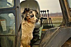 farm dog.