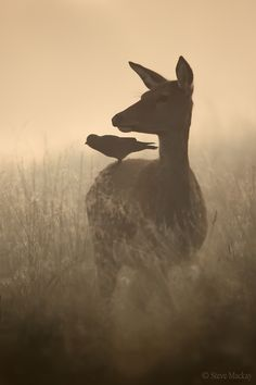 A shot of a Red Deer Hind, with a Jackdaw companion :) I took this shot on a foggy morning at Richmond Park