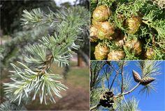 Cedrus libani, Cupressus sempervirens, Pinus brutia