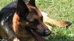 Video: How to Make a German Shepherd Dog Calm
