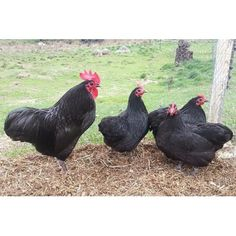 black australorp pullets with rooster Chicken Life, Chicken Art, Black Australorp, Rooster Breeds, Raising Backyard Chickens, Chicken Breeds, Hens, Ouat, Farm Life