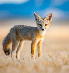 Kit Fox (Vulpes macrotis) by Jason Sims