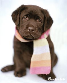 Roko (Chocolate Labrador) - Nothing like a touch of rainbow colour in winter  (pic by Rachael Hale)