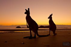 Image from http://michaelseebeck.com/wp-content/uploads/Kangaroos-at-Dawn.jpg.