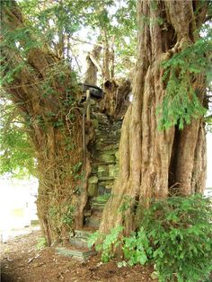 The Pulpit Yew, Nantglyn, Denbighshire, North Wales