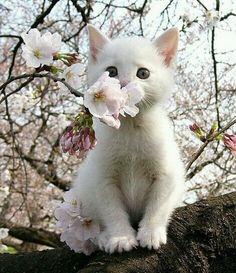 50 adorable cats with cherry blossoms: too cute to be real | tsunagu Japan