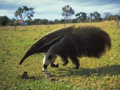 latest videos of animal anteater pet poster cute animals of anteater eating ants images pictures of animal baby anteater habitat . Rare Animals, Animals And Pets, Wild Animals, Funny Animal Memes, Funny Animals, Talking Animals, Animals Beautiful, Beautiful Creatures, Giant Anteater