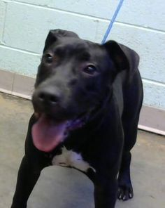 Petango.com – Meet Margaret, a 1 year Terrier, American Pit Bull / Mix available for adoption in DECATUR, GA