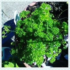 My Curled Leaf Parsley survived the winter .