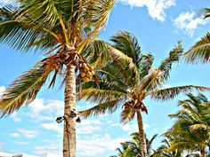 Coconuts, palm trees, and blue skies