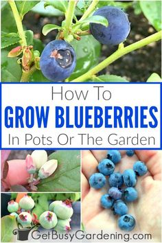 How To Grow Blueberries In Pots Or The Garden - Vegetable Gardening Blueberry Bush Care, Blueberry Plant, Growing Flowers, Growing Plants, Gardening For Beginners, Gardening Tips, Vegetable Gardening, Growing Blueberries, Growing Grapes