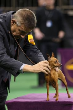 TINIEST BALLS CHECK  Miniature Pinscher. Both the dog and the judge.