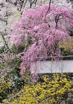 金蓮院の枝垂桜