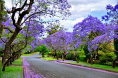 Goin' Down Jacaranda Street (Driving through the town of Parramatta, I looked down this street and it took my breath away. I had to turn around and get a picture of this. This street is lined with Jacaranda Trees-- hence, Jacaranda Street. Parramatta is a suburb of Sydney.) - photo by John Blacker