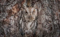 An eastern screech owl in the Okefenokee National Wildlife Refuge, Georgia, USA (© Media Drum World/Aurora Photos)