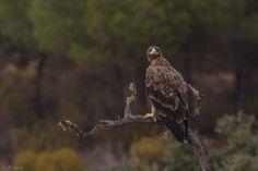 https://flic.kr/p/CTbX7U | Una mirada / A look | jcfajardophotography.com/  Águila imperial ibérica, Spanish imperial eagle, Aquila adalberti