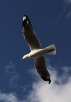 Seagull in the mid air. by Awes Amin