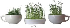 How to grow sabzeh for a haft seen