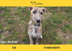 Sid at Dogs Trust Newbury loves lots of cuddles and attention.   He would suit an active family, ideally children 8yrs plus, who are home the majority of the time so they have time to continue with his training.