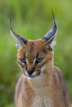 .The caracal, also known as the desert lynx, is a wild cat widely distributed across Africa, Central Asia, and Southwest Asia into India.